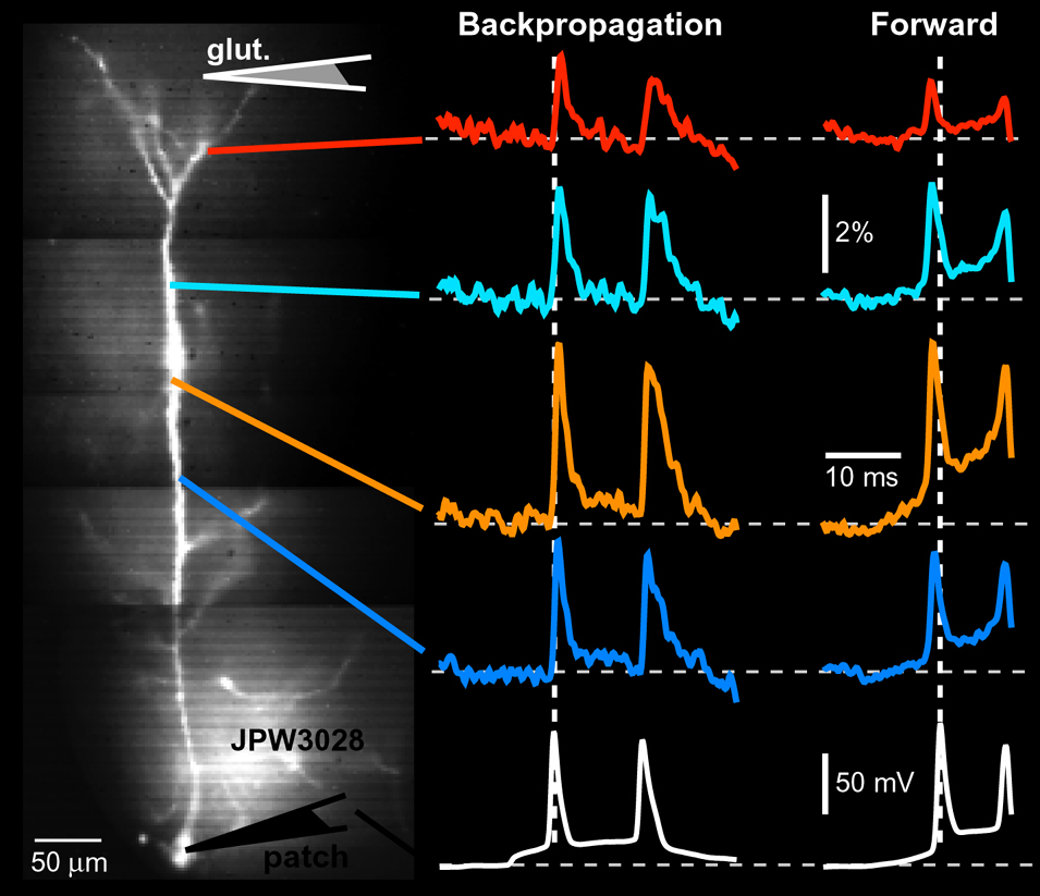 Voltage-sensitive dye imaging of action potentials (APs) in apical dendrites of layer 5 cortical pyramidal neurons... (more)