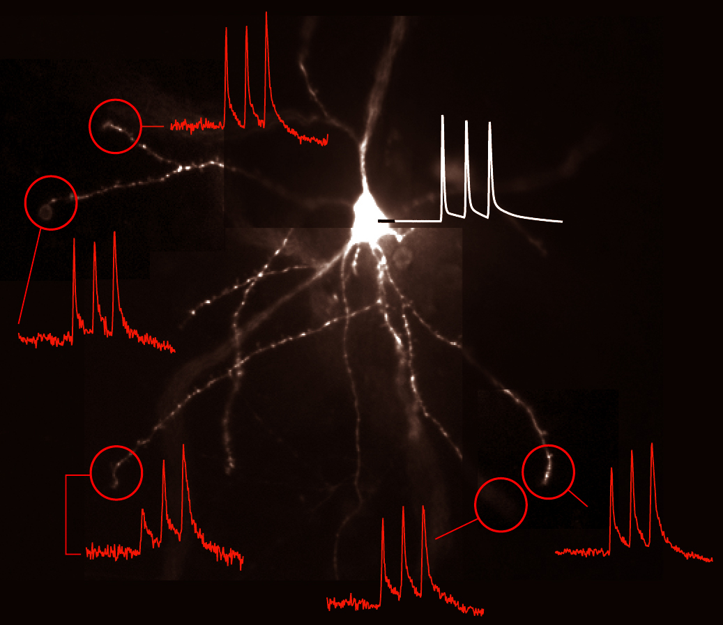 Heterogeneous electrical behavior of dendritic branches belonging to the same neuron