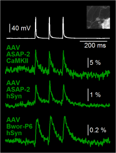 GEVI voltage imaging in cultured mouse neurons