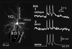 Voltage imaging from axon and oblique dendrite of the same cortical layer 5 pyramidal neuron