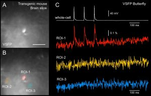 Voltage imaging in brain slices using Genetically Encoded Voltage Indicator (GEVI)