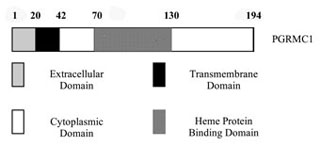 the different domains of PGRMC1