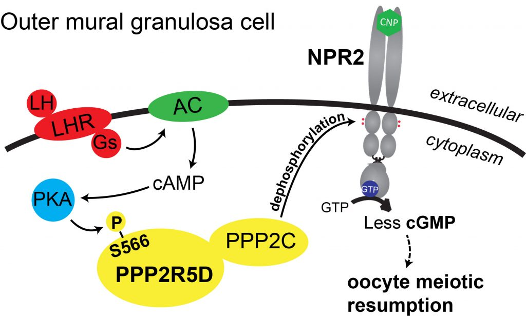 Proposed model of phosphatase(s) that mediate NPR2 dephosphorylation in response to LH.