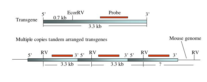 Transgene Copy Numbers - Example