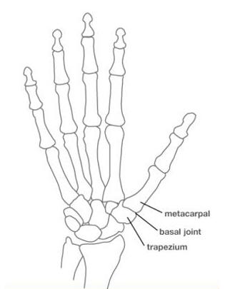 Hand And Wrist Bones Diagram