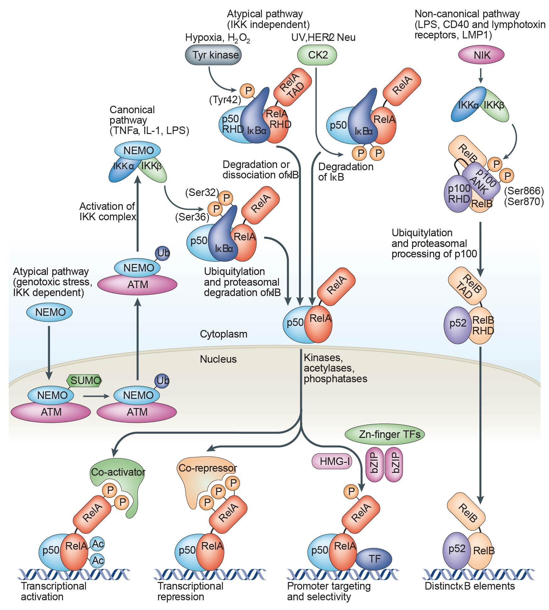 Regulation of NF-kappa B signaling by alternative splicing