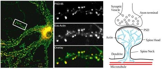Postsynaptic actin network
